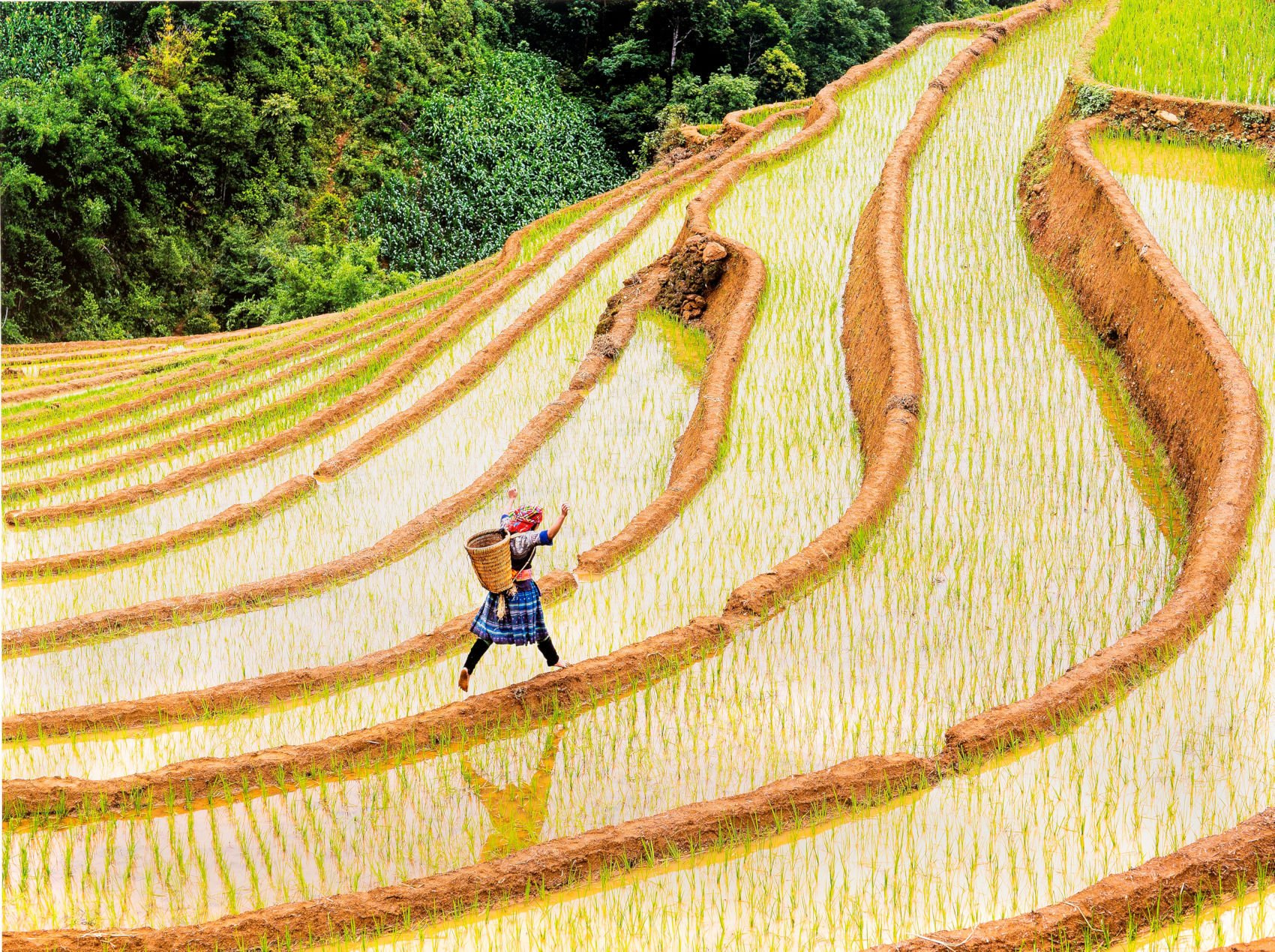 vietnamese woman jumps along the edge of a rice field on a hill